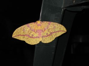 Female Imperial Moth