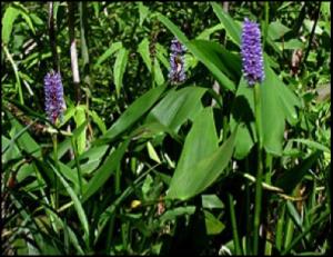 Pickerel Weed (Native Plant)